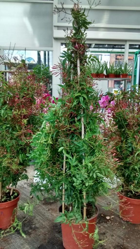 jasminum polyanthum Collado Villalba