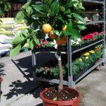 Citrus Sinensis – Naranjo – Collado Villalba