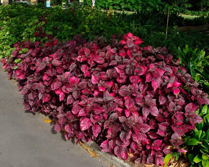Iresine - flores losan