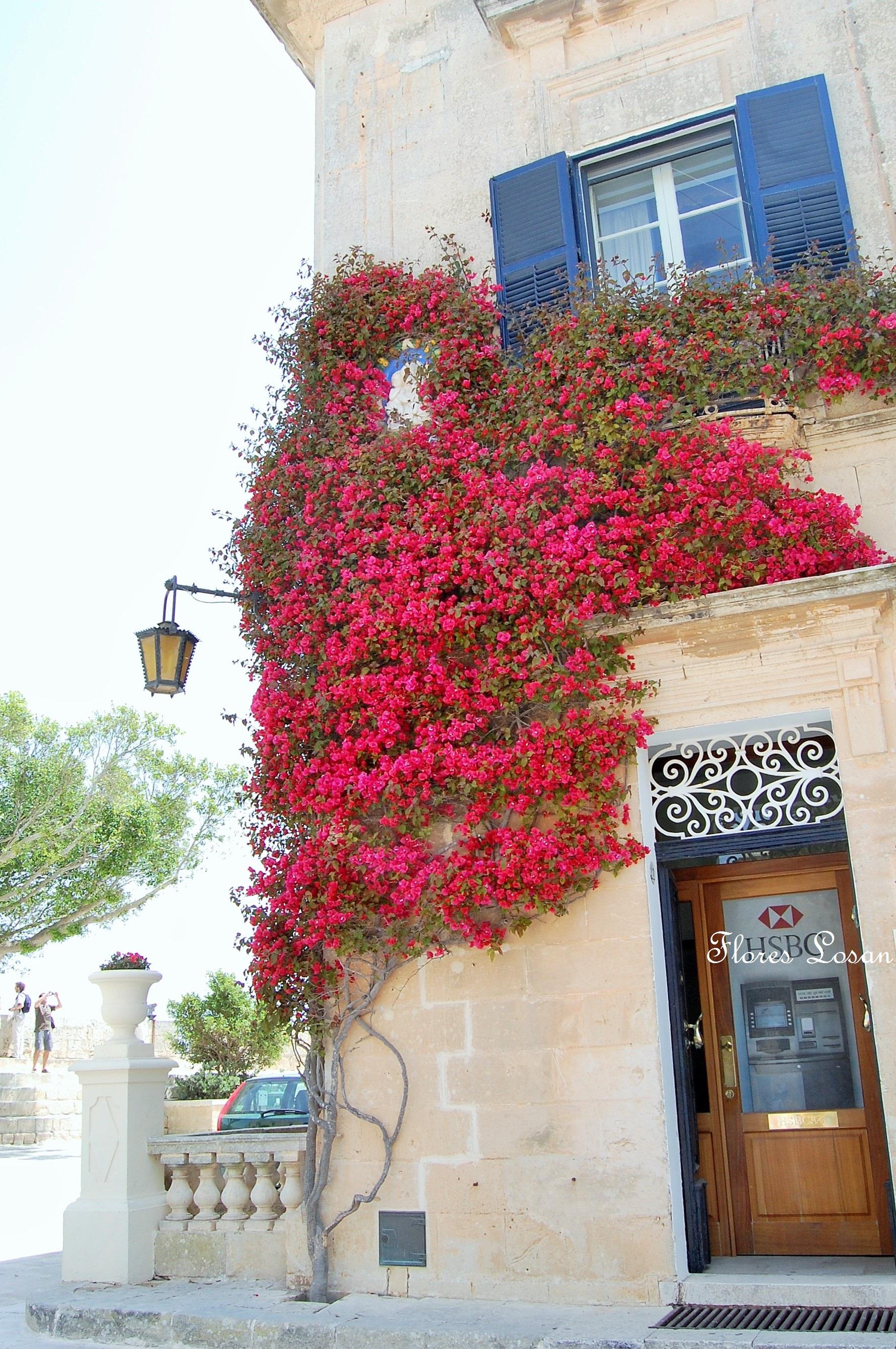 Bougainvillea bugambilia buganvilla collado villalba for Adornos para entrada de casa