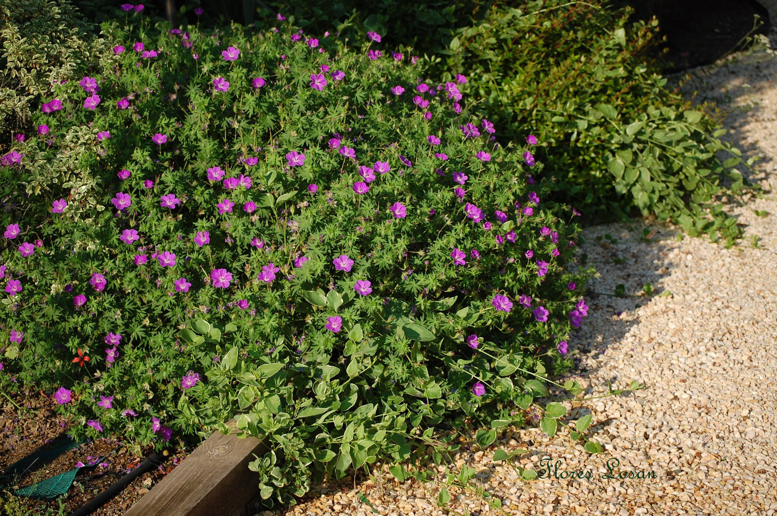 Geranium sanguineum geranio de sangre flores losan - Arbusto pequeno con flores ...