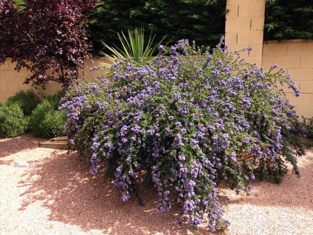 Cinco azules que querr s tener en tu jard n flores losan - Arbustos perennes con flor ...