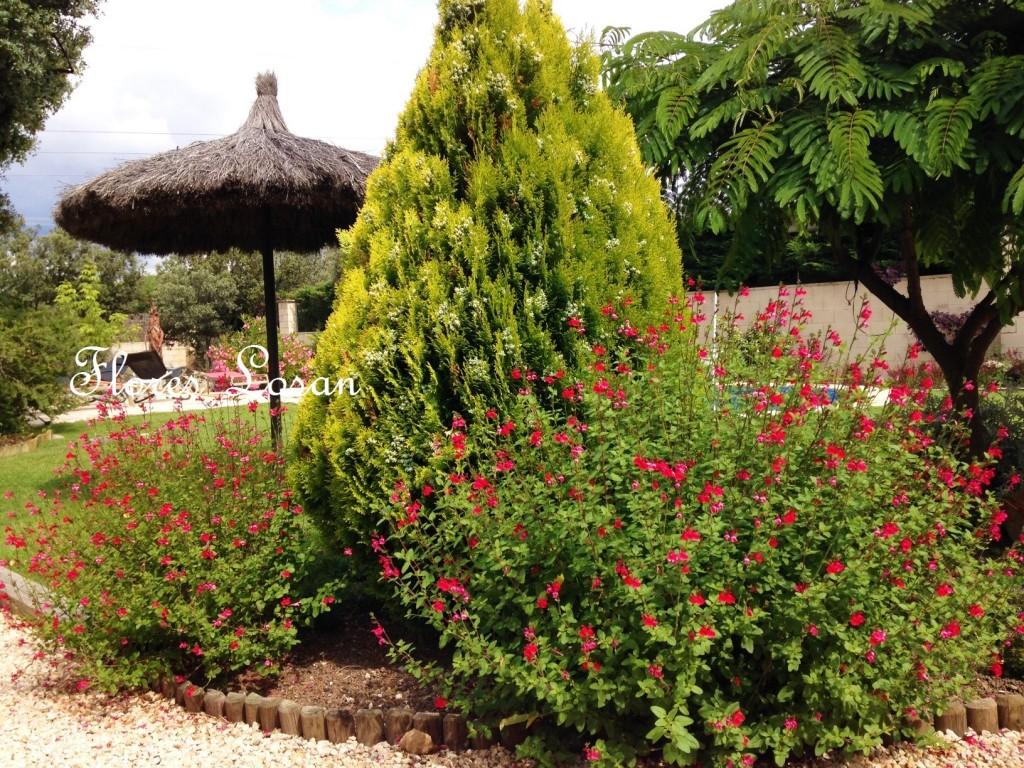 Salvia microphylla, Salvia grahammi o Salvia rosa