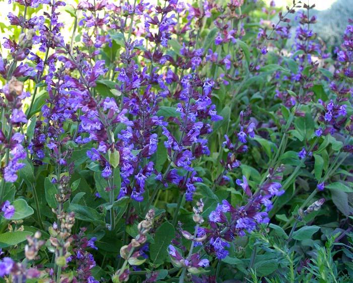 SalviaOfficinalis Flores Losan