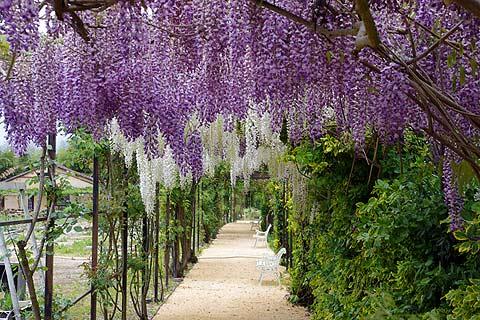 wisteria flores losan