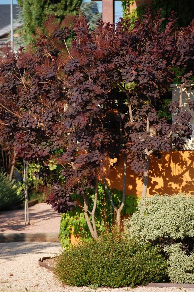 Cotinus coggyria, Árbol de las pelucas o Fustete