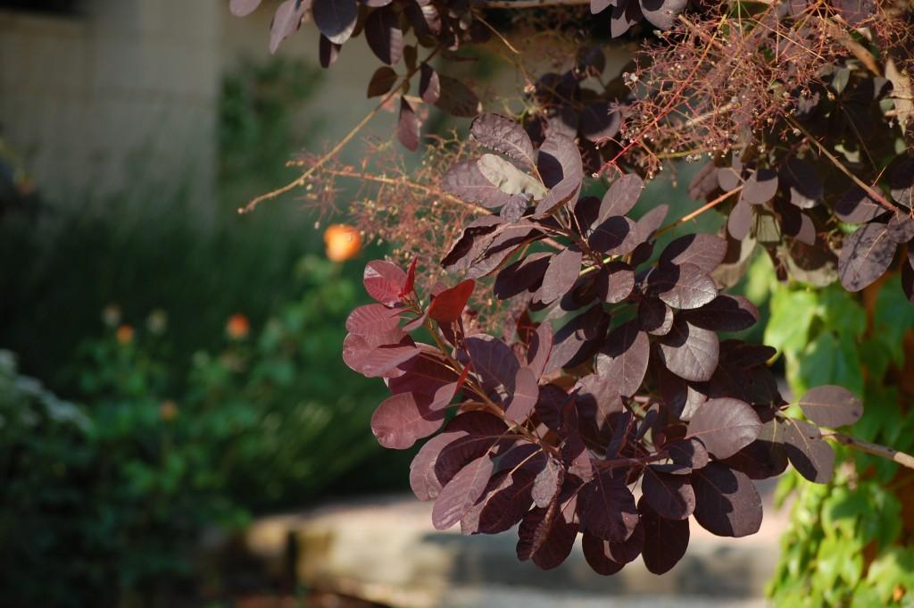 Cotinus Flores Losan