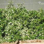 Trachelospermum o Rhyncospermum jasminoide