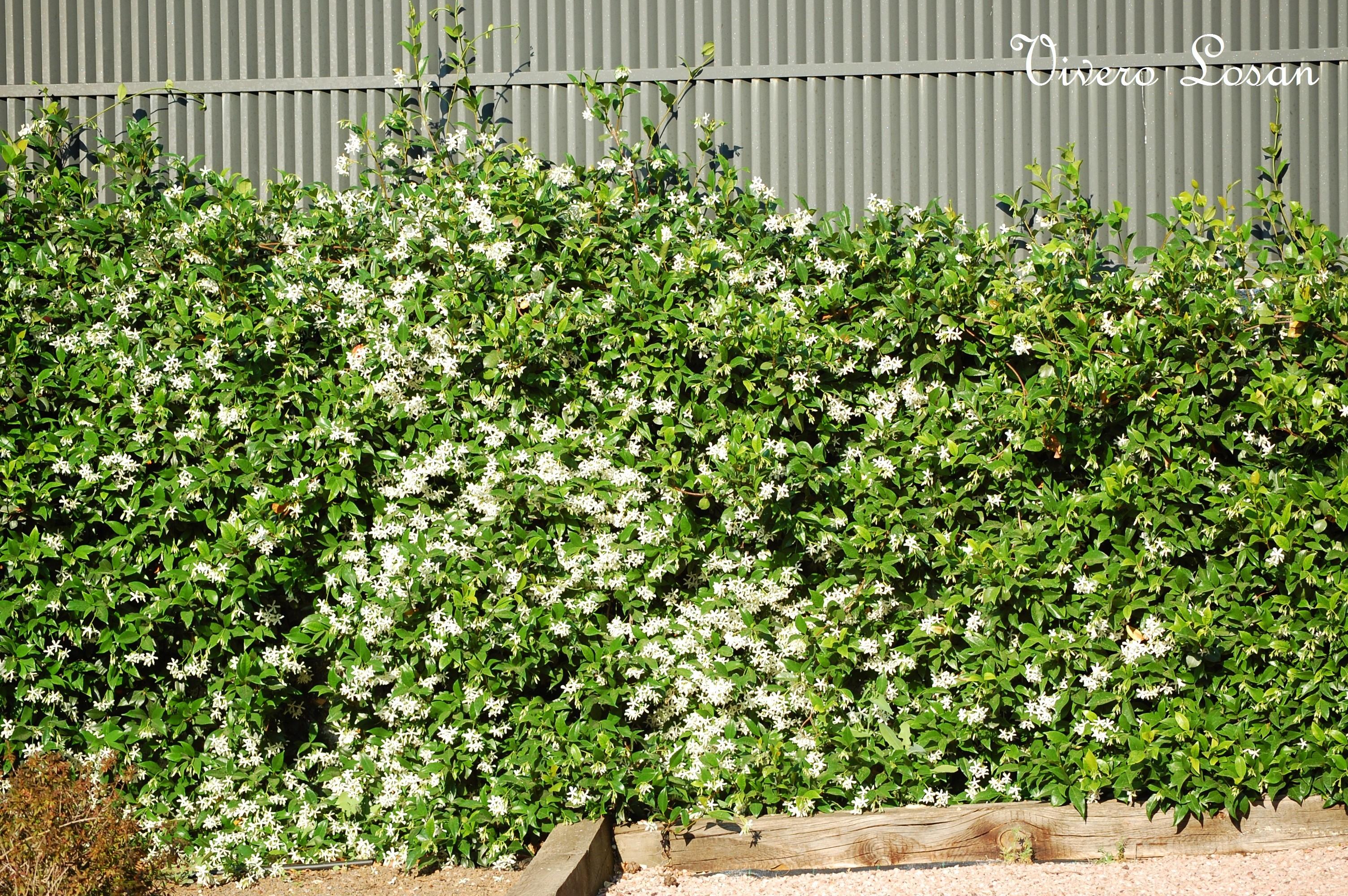Trachelospermum o rhyncospermum jasminoide for Arbustos de hoja perenne resistentes al frio