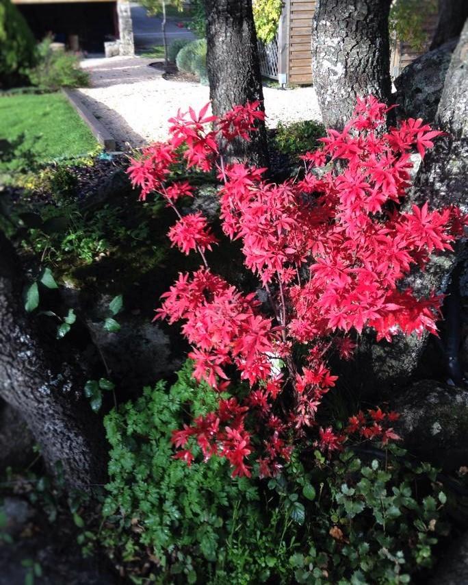 """Acer palmatum """"Atropurpureum"""", Arce japonés o Arce enano"""