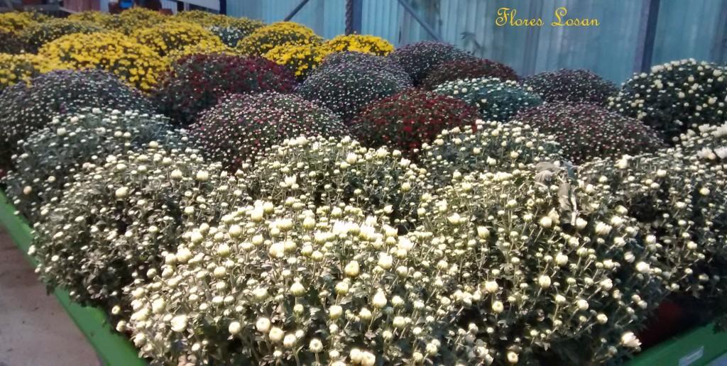 Crisantemos, Chrysanthemums, mums