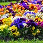 Pensamiento o trinitaria: viola tricolor y wittrockiana
