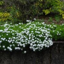 Plantas para rocalla archives flores losan for Plantas para rocallas