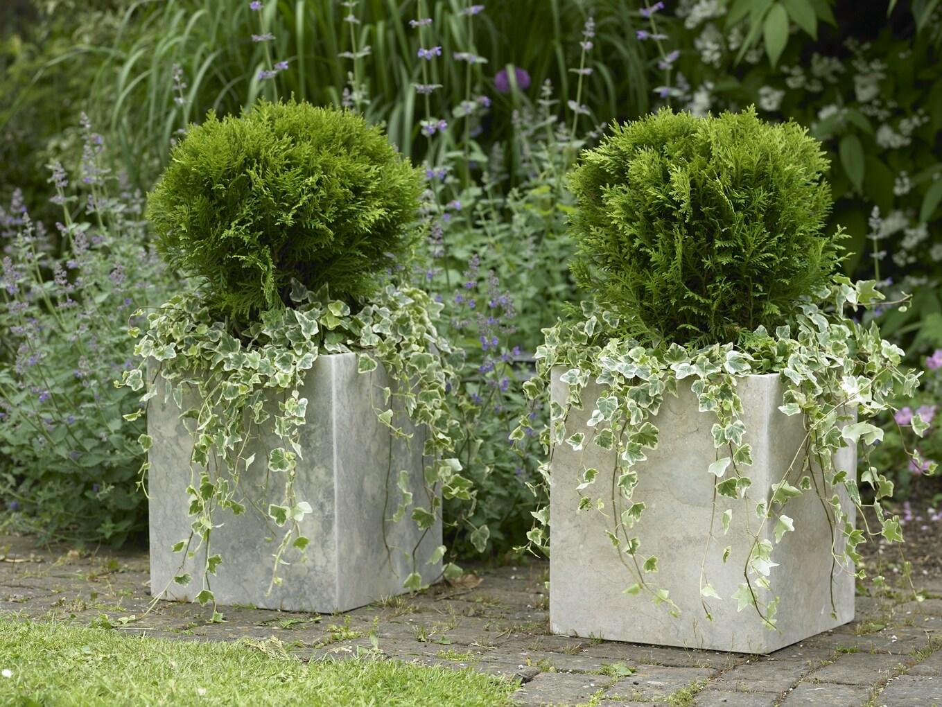 Listado de con feras enanas ii flores losan for Arbustos perennes para jardin