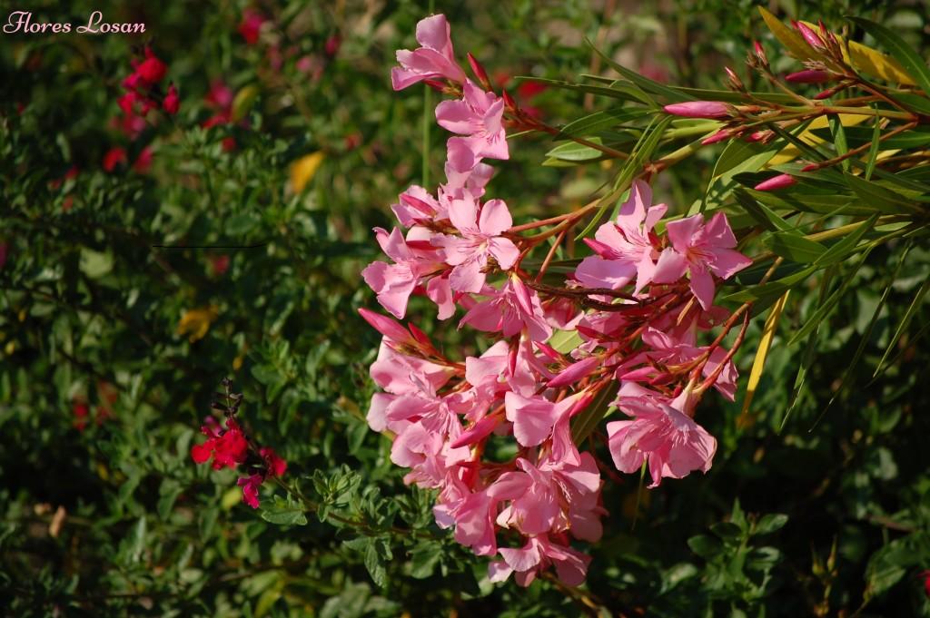 Nerium Oleander, Adelfa, Laurel rosa