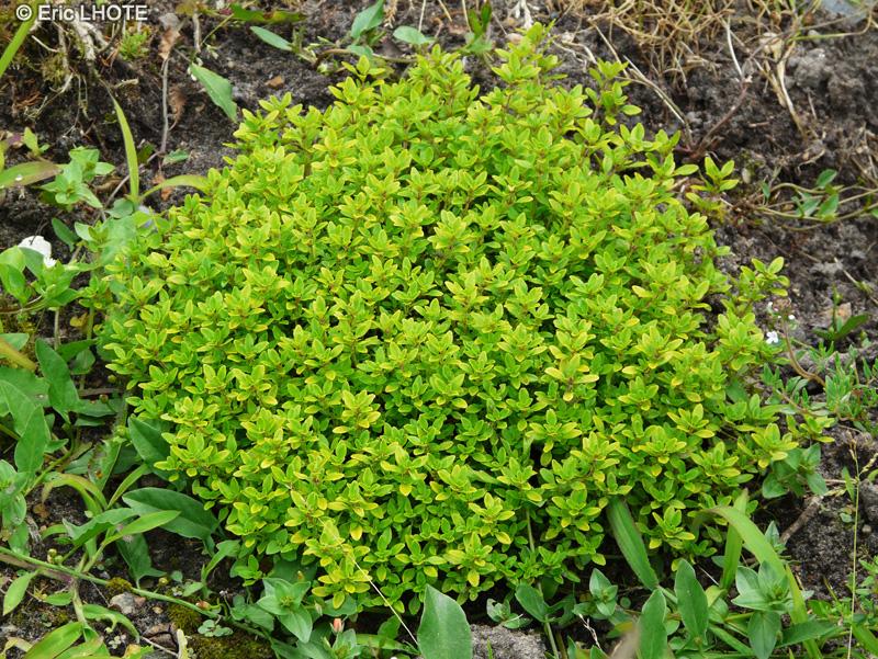 Lamiaceae-Thymus-citriodorus-Thym-citron