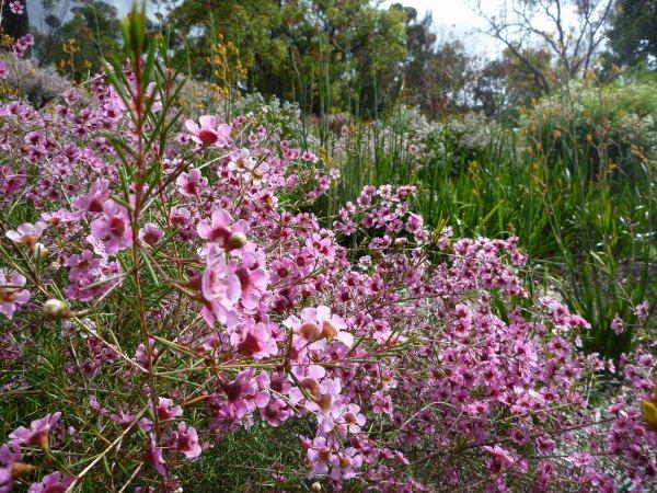 Chamelaucium uncinatum, Flor de cera