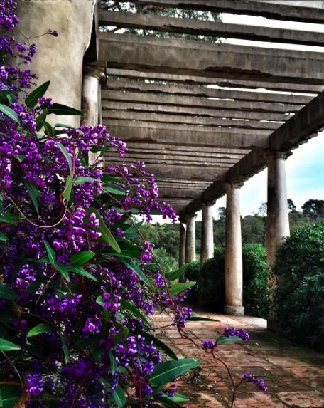 La Hardenbergia violacea o Hardenbergia violeta