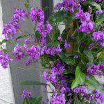 Hardenbergia violacea o Hardenbergia violeta