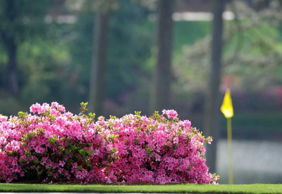 Azalea azalea japonica o azalea indica cuidados de la azalea - Cuidado de azaleas en interior ...