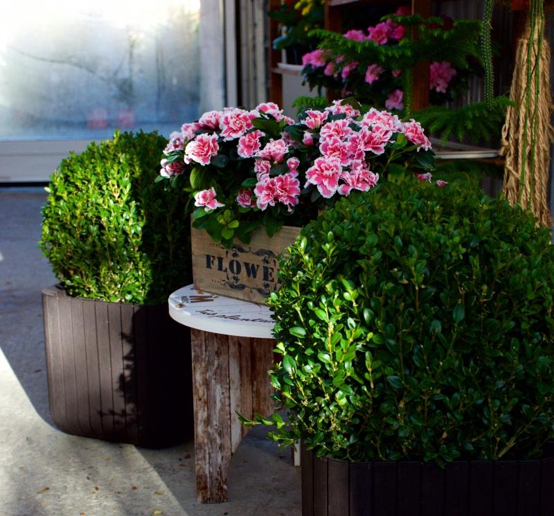 Azalea, Azalea japonica o Azalea indica